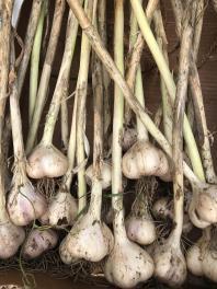garlic20 1